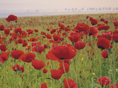 Can we get behind the Centenary PoppyCampaign?
